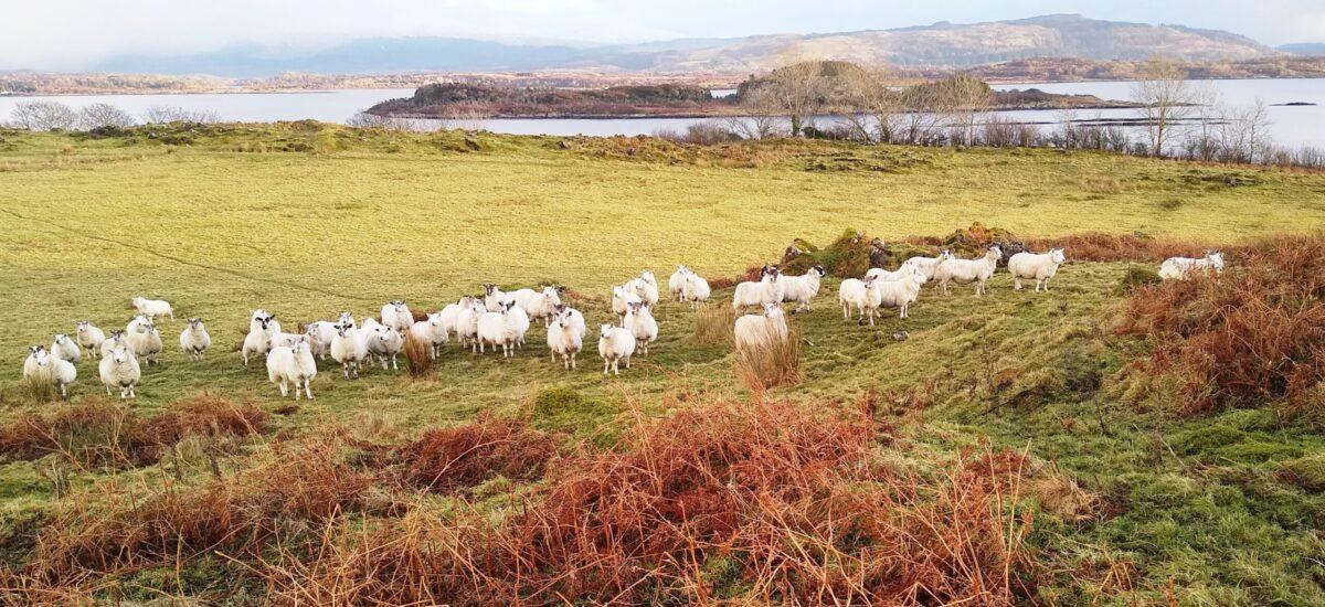 Sheep. Baligrundle